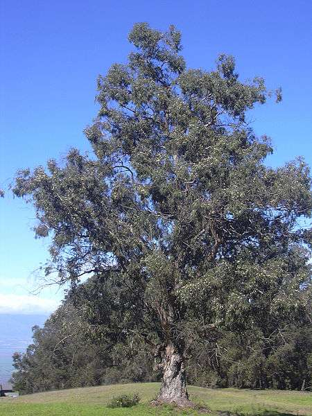 Eucalyptus fights bacteria and helps heal wounds.