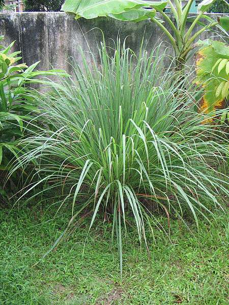 Lemongrass deodorizes and repels insects.