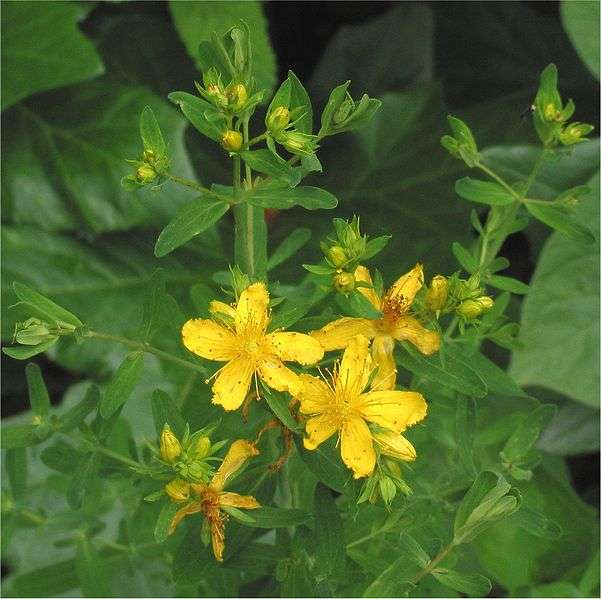 St. John's Wort helps reduce. Swollen muscles.