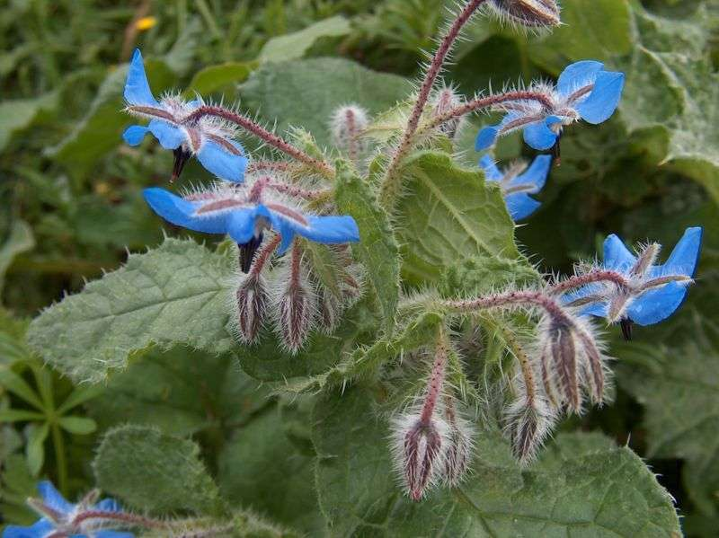 Borage heals skin and reduces inflammation.
