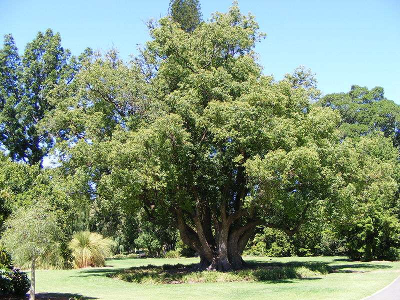 White Camphor increases circulation and helps reduce muscle spasms.