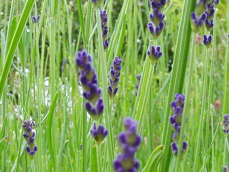 Lavender kills germs and bacteria while being safe for children and adults alike.
