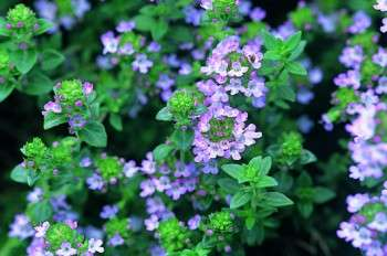 Red thyme helps improve circulation..